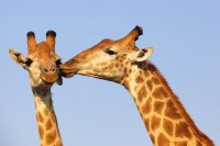 z18987735V,Zyrafy-w--Parku-Narodowym-Krugera-w-RPA